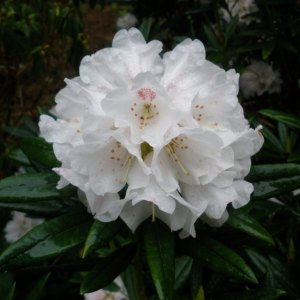 Compact Rhododendrons
