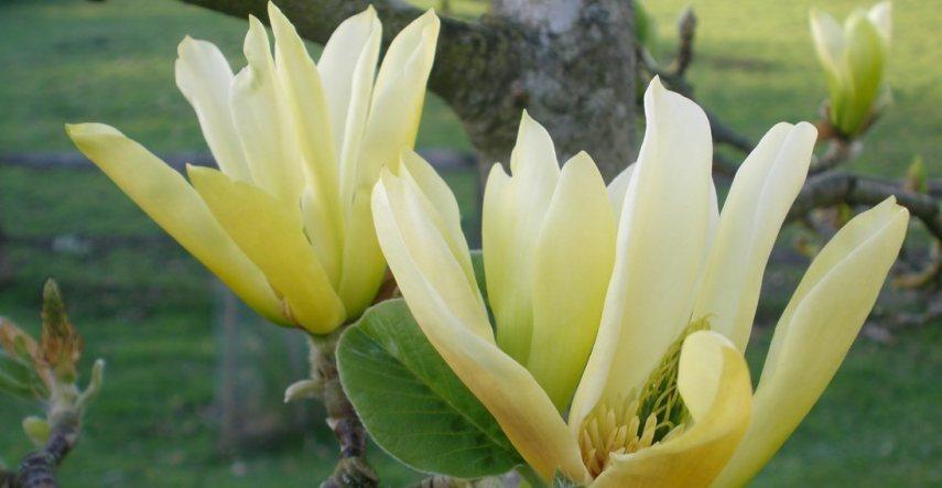 Buy Magnolias Online Millais Nurseries