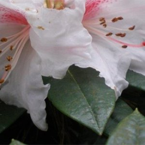 INKARHO Lime-tolerant Rhododendrons