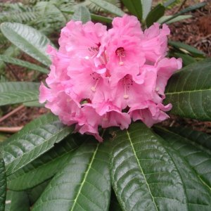 Big Leaved Rhododendrons