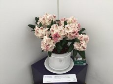 Rhododendron Prinses Maxima shortlisted for RHS Chelsea Plant of the Year 2016