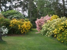 Deciduous azaleas -  a bank of seedlings raised by Ted Millais in about 1950