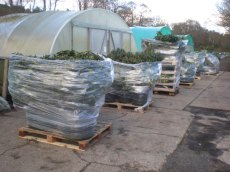 Despatch of specimen sized plants by pallet