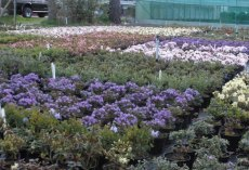 Colourful dwarf rhododendrons on the nursery