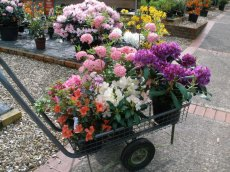 Another colourful trolley of rhododendrons