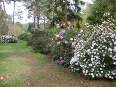 Species rhododendrons