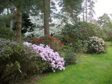 Rhododendrons under a canopy of pines, cherry and magnolia