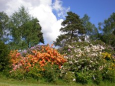 Sunny bank of deciduous azaleas
