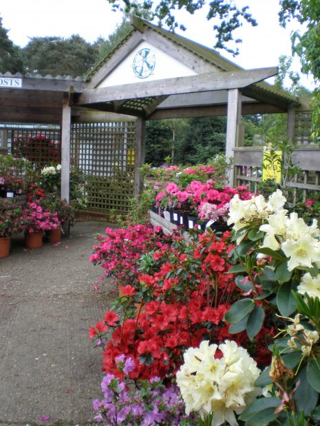 Perfect time for planting Rhododendrons and Azaleas