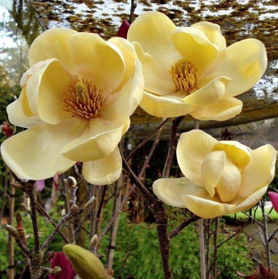 Magnolia Honey Tulip Magnolias Millais Nurseries