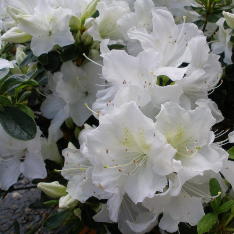 Buy Pleasant White Rhododendrons