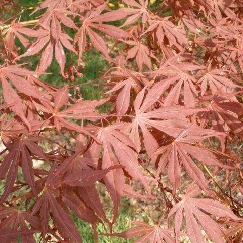 Acer Palmatum Suminagashi Buy Suminagashi Japanese Maples Online