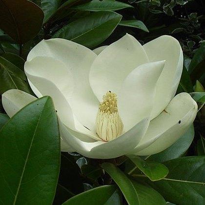 Grandiflora Magnolias Buy Magnolia Grandiflora Exmouth Online