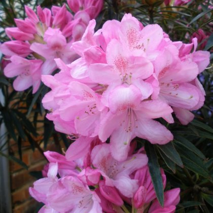 Rhododendron Hampshire Belle