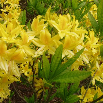 Deciduous Azalea luteum BOX DEAL