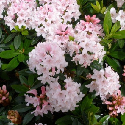 Rhododendron Bloombux INKARHO
