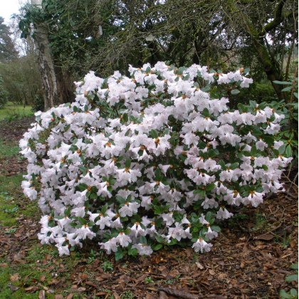 Rhododendron Cilpinense  AGM