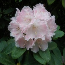 Rhododendron Doc