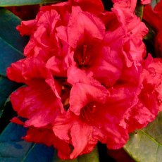Rhododendron Dopey AGM