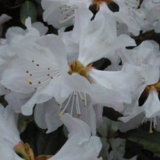 Rhododendron Dora Amateis  AGM