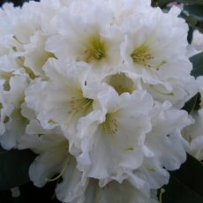 Rhododendron Dufthecke White INKARHO