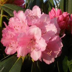 Rhododendron Endsleigh Pink