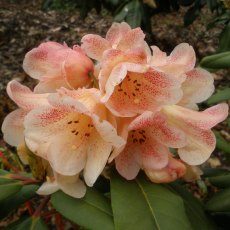 Rhododendron Firelight