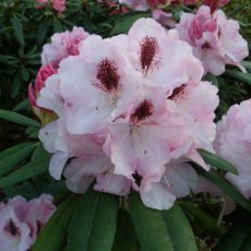 Rhododendron Flanagans Daughter