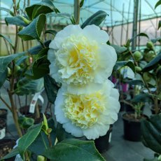 Camellia Brushfields Yellow