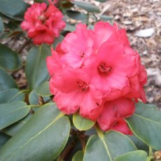 Rhododendron fulgens