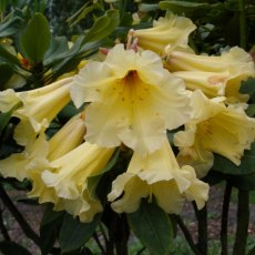 Rhododendron Golden Splendour