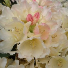 Rhododendron Golden Torch  AGM