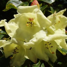 Rhododendron Goldika