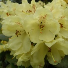Rhododendron Goldkrone  AGM