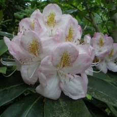 Rhododendron Gomer Waterer  AGM