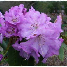 Rhododendron Graham Thomas
