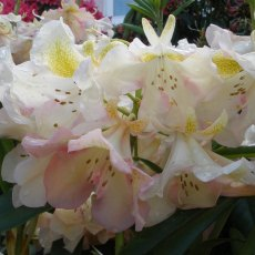 Rhododendron Greensleeves