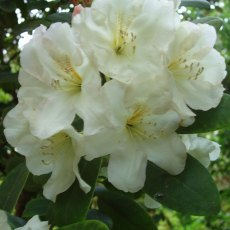 Rhododendron High Summer