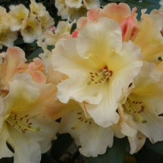 Rhododendron Horizon Monarch  AGM