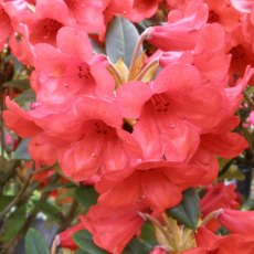 Rhododendron Hussar