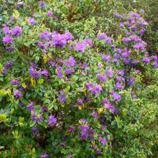 Rhododendron Ilam Violet