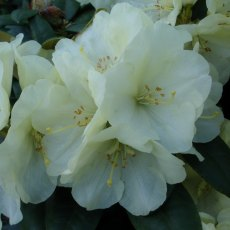 Rhododendron Lemon Dream