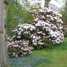Rhododendron Loderi King George  AGM