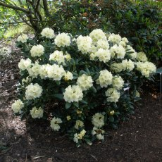 Rhododendron Lucinda