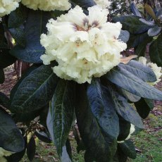 Rhododendron macabeanum  (Seedlings from KW7724) AGM
