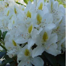 Rhododendron Madame Masson AGM