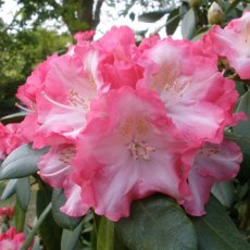 Rhododendron Marlis  AGM