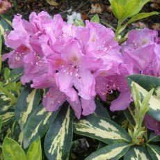 Rhododendron Molten Gold