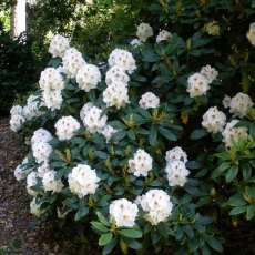 Rhododendron Mrs J.C. Williams  AGM