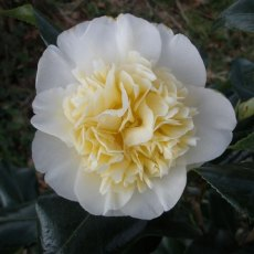 Camellia x williamsii 'Jury's Yellow'  AGM